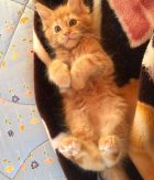 What does a ginger cat bring home? Of Golden Happiness